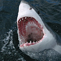 Great White Shark Jaws by Mike Parry