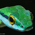 Green Parrot Snake by Larry Linton