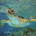 Green Sea Turtle Chelonia Mydas Print by Tim Fitzharris