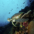 Green Sea Turtle Resting On A Plate by Mathieu Meur