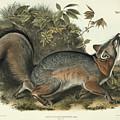 Grey Fox by John James Audubon