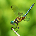 Handstand Dragonfly by Karen M Scovill