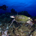 Hawksbill Turtle Swimming With Diver by Steve Jones