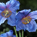 Himalayan Poppy (meconopsis Grandis) by Dr Keith Wheeler