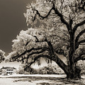 Historic Drayton Hall In Charleston South Carolina Live Oak Tree by Dustin K Ryan