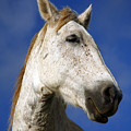 Horse portrait Print by Gaspar Avila