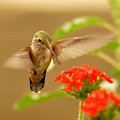 Hummingbird by Don Wolf