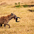 Hungry Hyena by Adam Romanowicz