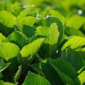 Hydrangea Foliage by Gaspar Avila