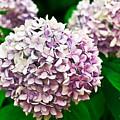 Hydrangea Purple by Ryan Kelly