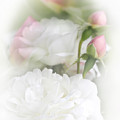 Illusions Of White Roses And Pink Rosebuds by Jennie Marie Schell
