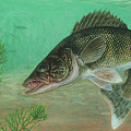Illustration Of A Walleye Swimming by Carlyn Iverson