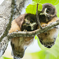 Impossibly Cute Owl Fledglings by Tim Grams