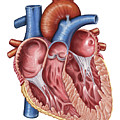 Interior Of Human Heart by Stocktrek Images