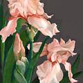 Iris Study by Suzanne Schaefer