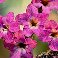 Irridescent Pink Flowers by Ryan Kelly