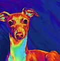 Italian Greyhound  by Jane Schnetlage