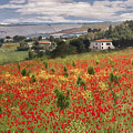 Italian Poppy Field by Sharon Foster