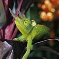Jacksons Chameleon On Leaf by Dave Fleetham - Printscapes