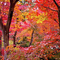 Japanese Maple Trees by I love Photo and Apple.