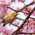 Japanese White-eye On Cherry Blossoms by David A. LaSpina