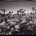 Joshua Tree Forest St George Utah by Steve Gadomski