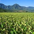 Kauai, Wet Taro Farm by Himani - Printscapes