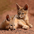 Kit Fox Pups On A Lazy Day by Max Allen