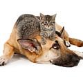 Kitten Laying On German Shepherd by Susan  Schmitz
