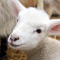 Lamb by Michelle Calkins