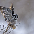 Landing Hawk Owl by Tim Grams