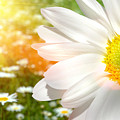 Large Daisy In A Sunlit Field Of Flowers by Sandra Cunningham