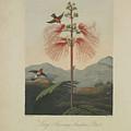 Large Flowering Sensitive Plant by Robert John Thornton