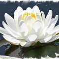 Large Water Lily With White Border by Carol Groenen