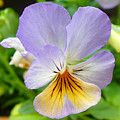 Lavender Pansy by Nancy Mueller