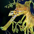 Leafy Sea Dragon by Mariola Bitner