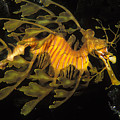 Leafy Seadragon, Off Kangaroo Island by James Forte