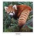 Lesser Panda Ailurus Fulgens by Owen Bell