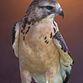 Light Morph Immature Swainsons Hawk by Ernie Echols