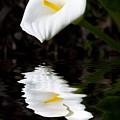 Lily Reflection by Avalon Fine Art Photography