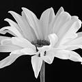 Lone Daisy by Harry H Hicklin
