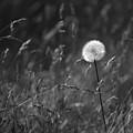 Lone Dandelion Black And White by Jill Reger