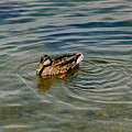 Lone Duck Swimming On A River by Todd Gipstein