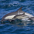 Long-beaked Common Dolphins, Delphinus by Ralph Lee Hopkins