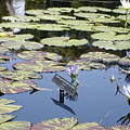 Longwood Lillies by Randy Ford