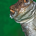 Look Reptile, Lizard Interested By Camera by Pere Soler