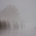 Loon In Morning Fog by Naman Imagery