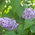 Lovely Lilacs 2 by Anna Villarreal Garbis