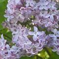 Lovely Lilacs by Anna Villarreal Garbis