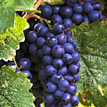 Luscious Grape Cluster by Marion McCristall